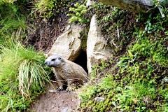 im Silbertal leben viele Murmeltiere