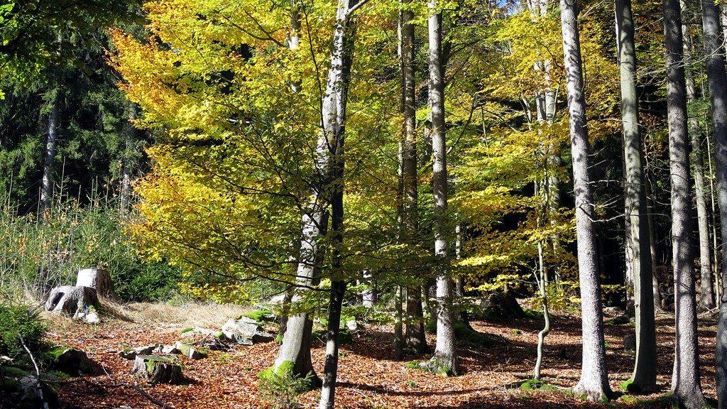 gelb leuchtende Blätter im Herbstwald